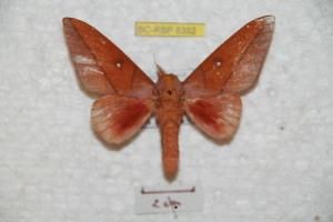 (Syssphinx centriboyacensis - BC-RBP 8352)  @13 [ ] Copyright (2014) Ron Brechlin Research Collection of Ron Brechlin