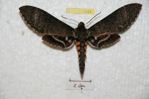(Manduca paphus - BC-RBP 8431)  @14 [ ] Copyright (2014) Ron Brechlin Research Collection of Ron Brechlin