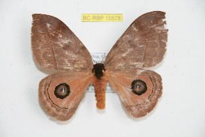 (Automeris gadouae - BC-RBP 10578)  @13 [ ] copyright (2017) Ron Brechlin Research Collection of Ron Brechlin