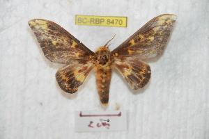 (Citheronioides - BC-RBP 8470)  @14 [ ] Copyright (2014) Ron Brechlin Research Collection of Ron Brechlin