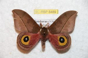 (Automeris zozinicaraguana - BC-RBP 8489)  @11 [ ] Copyright (2014) Ron Brechlin Research Collection of Ron Brechlin
