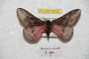 (Coloradia paraguerreroiana - BC-RBP 8523)  @11 [ ] Copyright (2014) Ron Brechlin Research Collection of Ron Brechlin