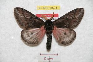 (Coloradia peggyae - BC-RBP 8524)  @13 [ ] Copyright (2014) Ron Brechlin Research Collection of Ron Brechlin