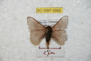 (Hylesia frigida frigchiapasex - BC-RBP 8866)  @13 [ ] Copyright (2014) Ron Brechlin Research Collection of Ron Brechlin