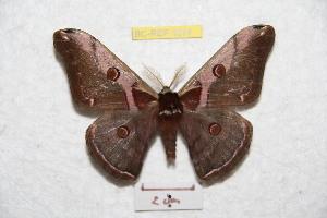 (Saturnia shaanxiana - BC-RBP 9097)  @11 [ ] Copyright (2015) Ron Brechlin Research Collection of Ron Brechlin