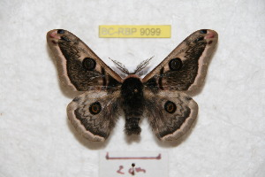 (Saturnia luctifera - BC-RBP 9099)  @14 [ ] Copyright (2015) Ron Brechlin Research Collection of Ron Brechlin