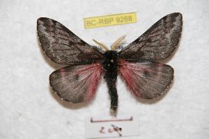 (Coloradia oaxacensis - BC-RBP 9268)  @14 [ ] Copyright (2015) Ron Brechlin Research Collection of Ron Brechlin