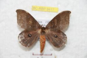 (Hyperchirioides - BC-RBP 9417)  @14 [ ] Copyright (2015) Ron Brechlin Research Collection of Ron Brechlin