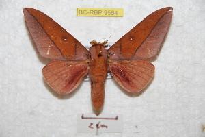 (Syssphinx tatama - BC-RBP 9564)  @14 [ ] Copyright (2015) Ron Brechlin Research Collection of Ron Brechlin