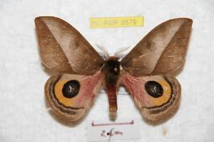 (Automeris vincentensis - BC-RBP 9579)  @11 [ ] Copyright (2015) Ron Brechlin Research Collection of Ron Brechlin