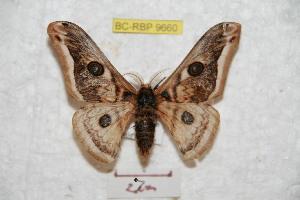 (Saturnia baonganae - BC-RBP 9660)  @14 [ ] Copyright (2015) Ron Brechlin Research Collection of Ron Brechlin