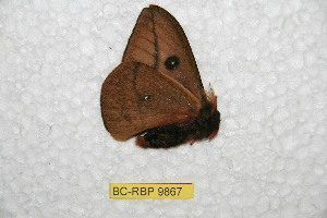 (Automeris peggyanae - BC-RBP 9867)  @12 [ ] Copyright (2015) Ron Brechlin Research Collection of Ron Brechlin
