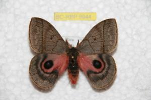 (Automeris luciorum - BC-RBP 9944)  @14 [ ] Copyright (2016) Ron Brechlin Research Collection of Ron Brechlin