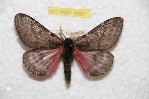 (Coloradia caballensis - BC-RBP 9991)  @14 [ ] Copyright (2016) Ron Brechlin Research Collection of Ron Brechlin