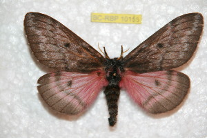 (Coloradia leonis - BC-RBP 10155)  @13 [ ] Copyright (2016) Ron Brechlin Research Collection of Ron Brechlin
