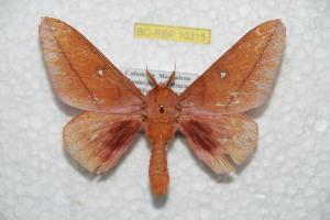 (Syssphinx bidmagdaleniana - BC-RBP 10315)  @11 [ ] copyright (2016) Ron Brechlin Research Collection of Ron Brechlin