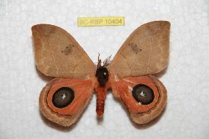 (Automeris zurouae - BC-RBP 10404)  @14 [ ] copyright (2017) Ron Brechlin Research Collection of Ron Brechlin