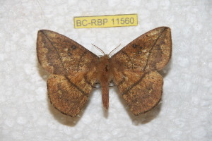(Periga fusca - BC-RBP 11560)  @11 [ ] Copyright (2019) Ron Brechlin Research Collection of Ron Brechlin