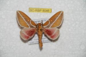 (Syssphinx paraxanthina - BC-RBP 8046)  @15 [ ] Copyright (2013) Ron Brechlin Research Collection of Ron Brechlin