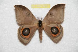(Automeris occidentorestes - BC-RBP 8081)  @14 [ ] Copyright (2013) Ron Brechlin Research Collection of Ron Brechlin