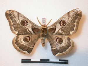 (Saturnia sp. SK01 - BC-SK0086)  @14 [ ] Copyright (2010) Steve Kohll Research Collection of Steve Kohll