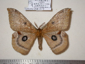 (Agliinae - barcode SNB 843)  @15 [ ] Copyright (2010) Stefan Naumann Research Collection of Stefan Naumann
