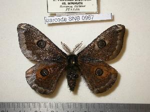 (Saturnia pavoniella - barcode SNB 967)  @15 [ ] Copyright (2010) Stefan Naumann Research Collection of Stefan Naumann