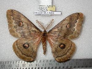 (Saturnia huttoni - barcode SNB 1223)  @11 [ ] Copyright (2010) Stefan Naumann Research Collection of Stefan Naumann