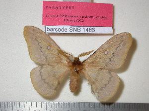 (Saturnia caecigena - barcode SNB 1486)  @11 [ ] Copyright (2010) Stefan Naumann Research Collection of Stefan Naumann