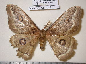 (Saturnia huttoni - barcode SNB 1491)  @11 [ ] Copyright (2010) Stefan Naumann Research Collection of Stefan Naumann