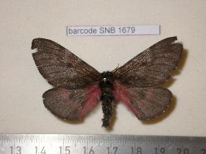 (Coloradia euphrosyne - barcode SNB 1679)  @14 [ ] Copyright (2010) Stefan Naumann Research Collection of Stefan Naumann