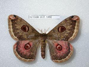 (Saturnia grotei - barcode SNB 1800)  @15 [ ] Copyright (2010) Stefan Naumann Research Collection of Stefan Naumann