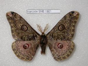(Saturnia rosalata - barcode SNB 1801)  @14 [ ] Copyright (2010) Stefan Naumann Research Collection of Stefan Naumann