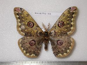 (Saturnia tsinglingshanis - barcode SNB 1928)  @14 [ ] Copyright (2010) Stefan Naumann Research Collection of Stefan Naumann