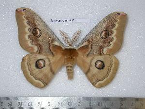 (Saturnia naessigi - barcode SNB 1948)  @15 [ ] Copyright (2010) Stefan Naumann Research Collection of Stefan Naumann