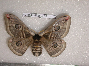 (Saturnia spini - barcode SNB 2232)  @15 [ ] Copyright (2010) Stefan Naumann Research Collection of Stefan Naumann