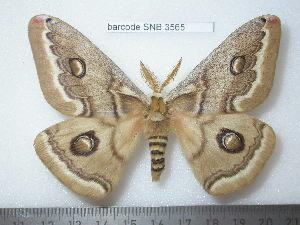 (Saturnia schencki - barcode SNB 3565)  @14 [ ] Copyright (2012) Stefan Naumann Research Collection of Stefan Naumann