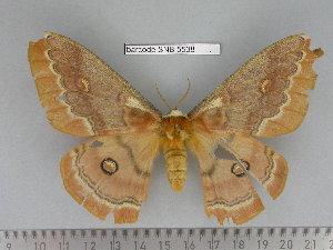 (Saturnia codyi - barcode SNB 5538)  @14 [ ] Copyright (2015) Stefan Naumann Research Collection of Stefan Naumann