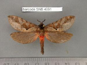 (Druceiella - barcode SNB 4991)  @13 [ ] Copyright (2012) Stefan Naumann Research Collection of Stefan Naumann