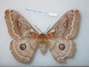 (Saturnia bergmanni - barcode SNB 5043)  @15 [ ] Copyright (2013) Stefan Naumann Research Collection of Stefan Naumann