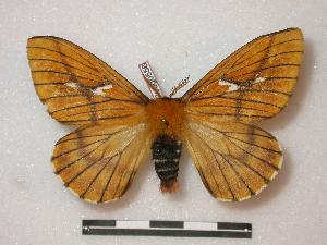 (Cerodirphia annelisae - BC-Roug0556)  @14 [ ] Copyright (2010) Rodolphe Rougerie Research Collection of Rodolphe Rougerie