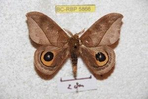 (Automeris parecuata - BC-RBP 5866)  @11 [ ] Copyright (2010) Ron Brechlin Research Collection of Ron Brechlin