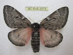 (Coloradia duffneri - BC-EvS 2573)  @14 [ ] Copyright (2012) Eric van Schayck Research Collection of Eric Van Schayck