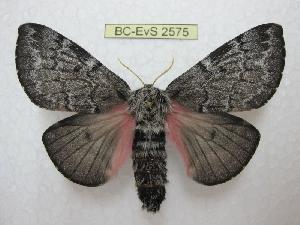 (Coloradia velda - BC-EvS 2575)  @15 [ ] Copyright (2012) Eric van Schayck Research Collection of Eric Van Schayck