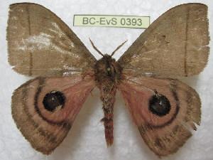 (Automeris stumpei - BC-EvS 0393)  @13 [ ] Copyright (2010) Eric Van Schayck Research Collection of Eric Van Schayck