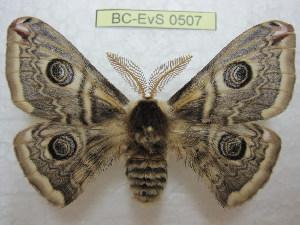 (Saturnia cephalariae - BC-EvS 0507)  @15 [ ] Copyright (2010) Eric Van Schayck Unspecified