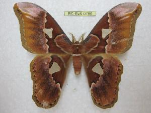 (Rothschildia orizaba merida - BC-EvS 0760)  @15 [ ] Copyright (2010) Eric Van Schayck Unspecified