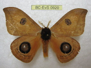 (Automeris mailinae - BC-EvS 0920)  @14 [ ] Copyright (2010) Eric Van Schayck Unspecified