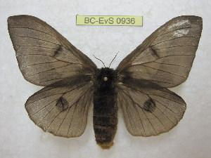 (Automeris styx - BC-EvS 0936)  @14 [ ] Copyright (2010) Eric Van Schayck Unspecified