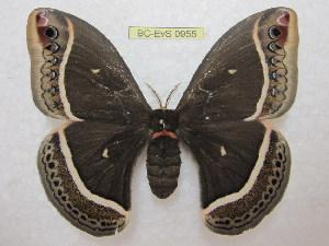 (Eupackardia - BC-EvS 0955)  @15 [ ] Copyright (2010) Eric Van Schayck Unspecified